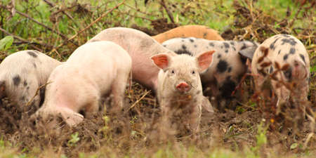 piglets: Herd of young pigs