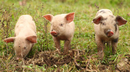 piglets: Three funny piglets
