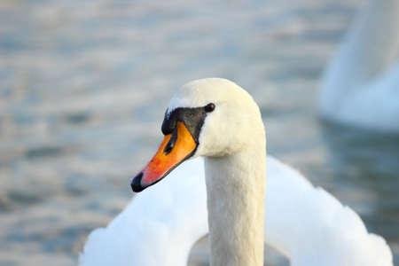 swans: el retrato de cisne
