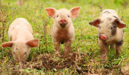 Three cute piglets on farm