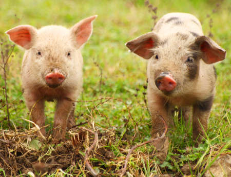 piglets: Cute piglets