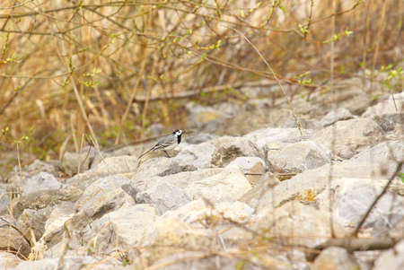 white wagtail: White wagtail on rocks Stock Photo