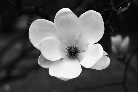black and white background: Magnolia flower in black and white