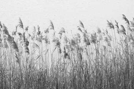 aquatic herb: Aquatic plants in black and white Stock Photo
