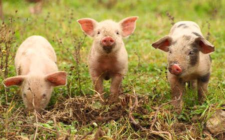 세 아기 돼지