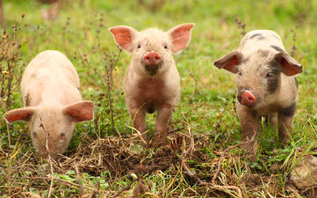Three baby pigs Stock Photo - 57772285