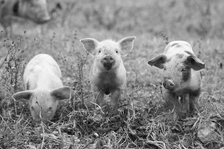 piglets: Three funny piglets, black and white