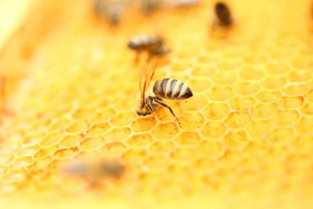 apiculture: Honeybees in honeycomb
