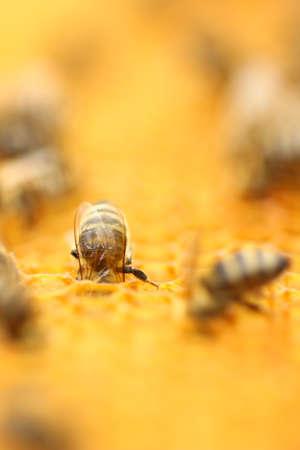 honeybee: Honeybee in honeycomb Stock Photo