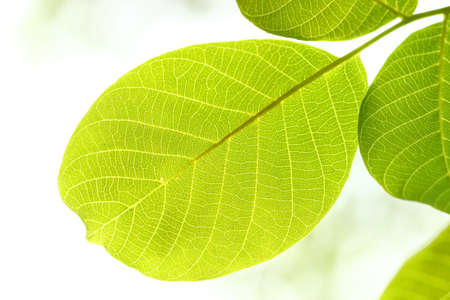 close uo: Green leaves on bright background