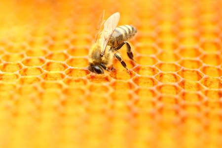 Honeybee in honeycomb Stock Photo