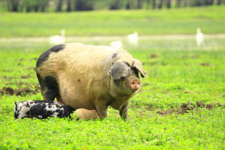 sow: Piglets and sow Stock Photo