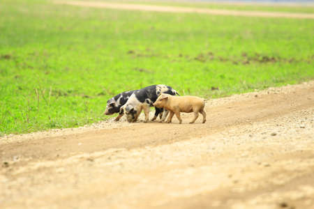 piglets: Three piglets on farm road