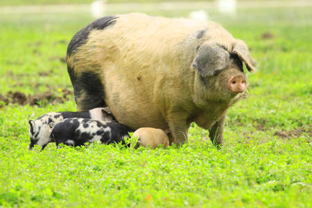 sow: Piglets nursing sow Stock Photo