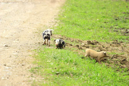 piglets: Three piglets on farm