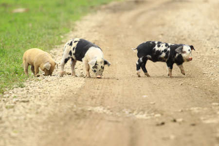piglets: Three little piglets