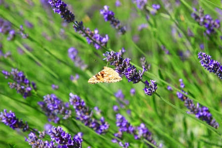 close uo: Butterfly on lavender flowers