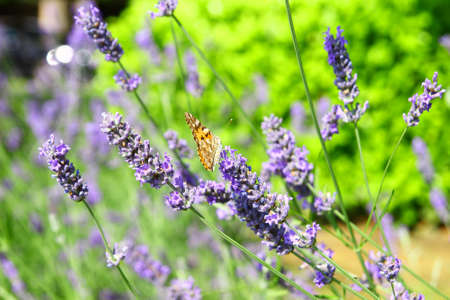 lavendin: Butterfly on lavender flowers