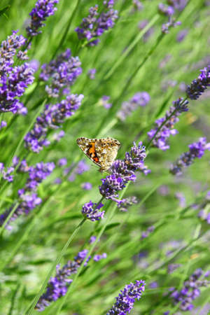 lavendin: Lavender flowers with butterfly Stock Photo