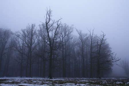 woodland  horror: Creepy forest in foggy day