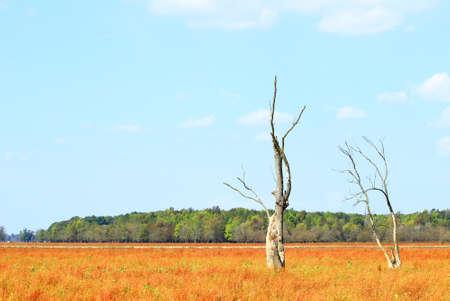 arboles secos: Dos árboles muertos