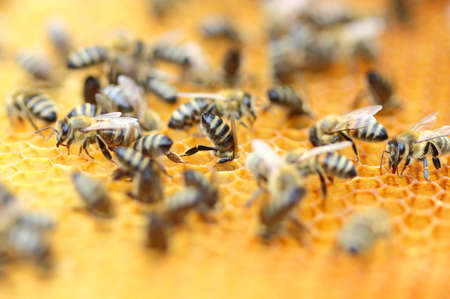 Bees workers in honeycomb Stock Photo