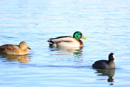 Wild ducks and coot in water