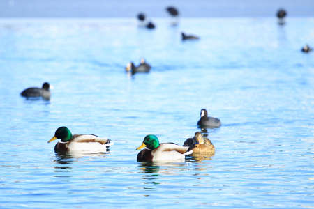 Wild ducks on lake Stock Photo