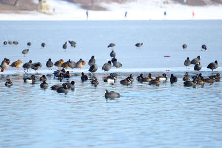 water  birds in winter