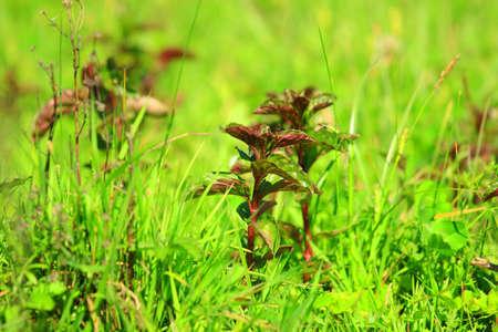 field mint: Mint plants on meadow Stock Photo