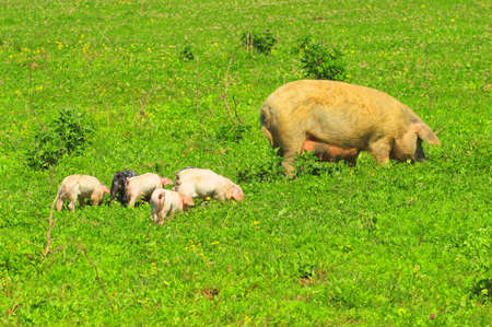 sow: Sow and piglets