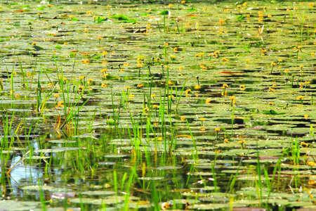 Lotus flowers in swamp