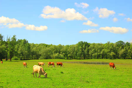 Cows in pasture, clouds on sky, spring sunny day, countryside landsape