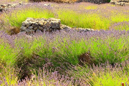 Lavender and dry stone, Island Hvar, Croatia Stock Photo