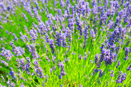 Lavender in field Stock Photo