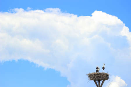 White storks in nest, storm cloud on blue sky in background Stock Photo