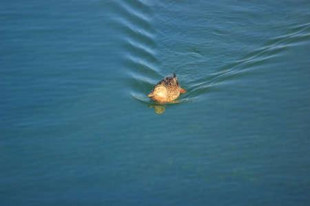 Wild duck female