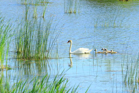 Swan and cygnets on lake