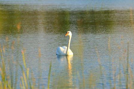 Swan on lake at sunset Stock Photo