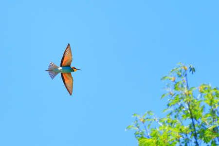 European bee-eaters in flight