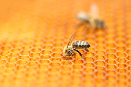 Honey bees on honeycomb cells, close up view