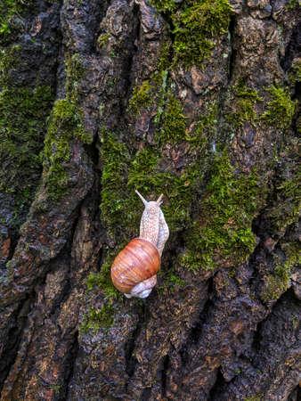 Snail crawling up a wet tree bark