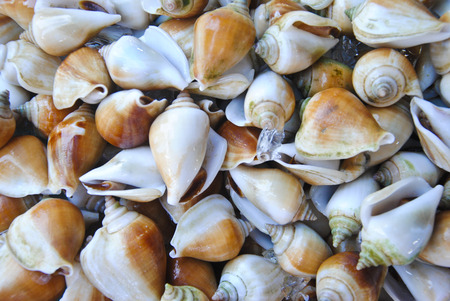 A background of fresh Dog Conch or Wing Shell for sale at a market Stock Photo
