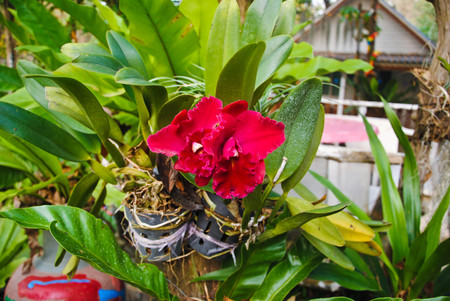 red orchid: Full bloom of red orchid flower