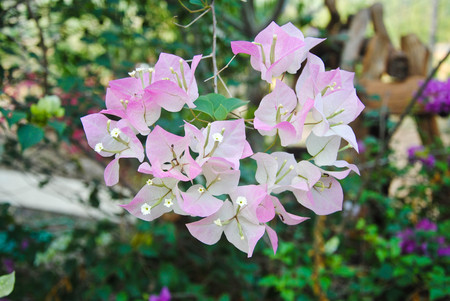 color bougainvillea: Bougainvillea paper flower in pink and white color