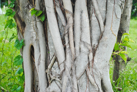 pipal: Bodhi tree root background,Sacred Fig Tree, Pipal Tree