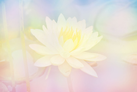 blossoming yellow flower tree: Soft blur Lotus flower in pastel colors sweet background Stock Photo
