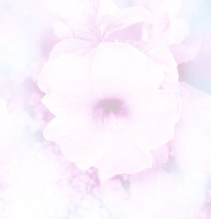 adenium: abstract blurred beautiful Hibiscus in soft color flower background Stock Photo