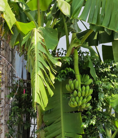 flesh colour: Banana tree with a bunch growing in a tropical rain forest one of the famous tropical fruit in the world. Stock Photo
