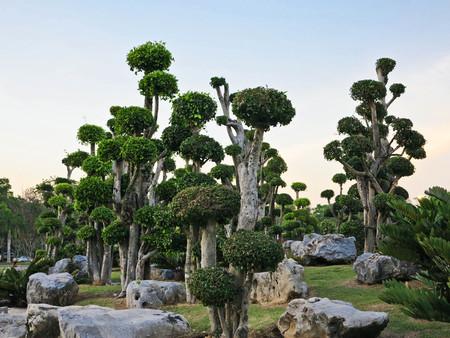 bush trimming: bonsai tree,decorated tree,streblus asper ,Siamese rough bush,tooth brush in the garden